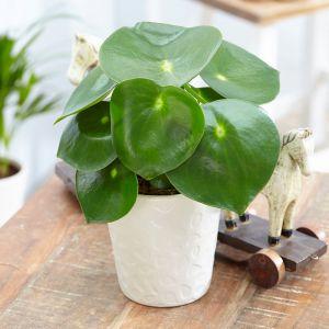 6IN PEPEROMIA  -MONEY PLANT