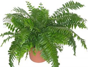 10IN MACHO FERN
