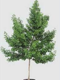10IN GREEN BWOOD BUSH