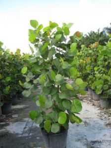 10IN SEA GRAPE BUSH