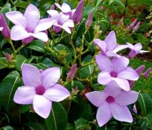 10IN ALLAMANDA PURPLE