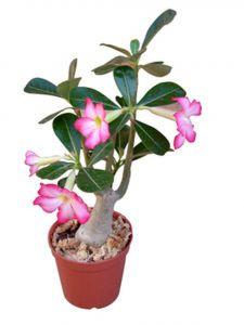 6IN DESERT ROSE HYBRID TRIPLE